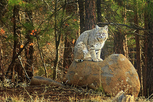Bobcat On A Rock by James Eddy