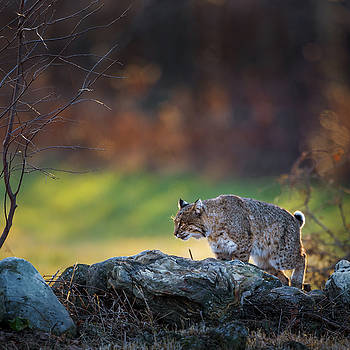 Bobcat on the Hunt Square by Bill Wakeley