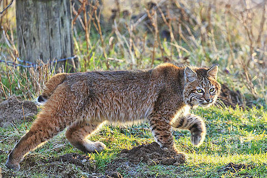 Bobcat on the prowl by Tim Hauf