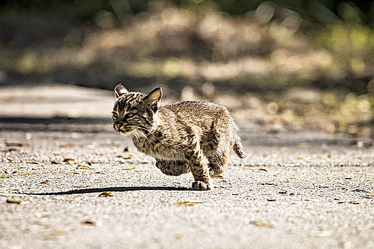 Bobcat on the Run by Michael White