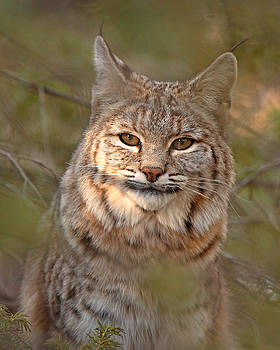 Bobcat Portrait Surrounded By Pine by Max Allen