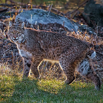 Bobcat square by Bill Wakeley