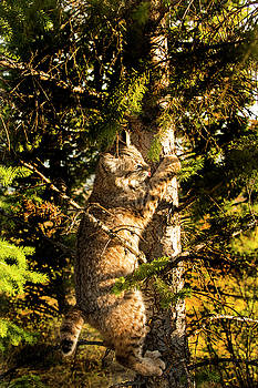 Bobcat up a tree by Roy Nierdieck
