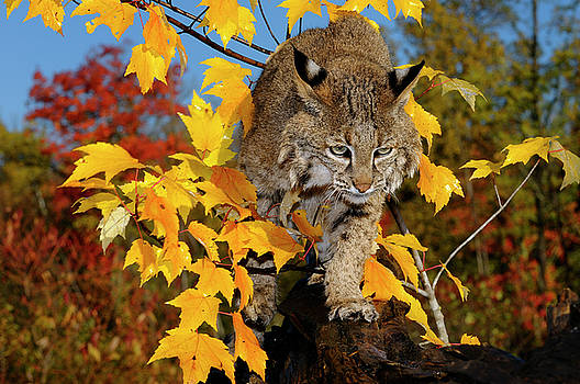 Reimar Gaertner - Bobcat walking along a fallen tree trunk with yellow and red map