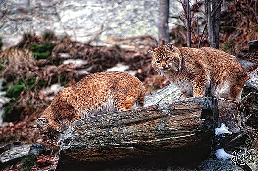 Bobcats on the Loose by Brad Hoyt