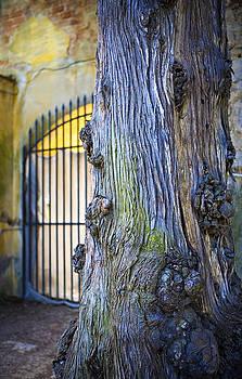 Marilyn Hunt - Boboli Garden Ancient Tree