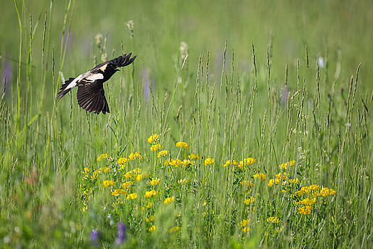 Bobolink In Paradise by Bill Wakeley