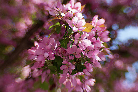 Bokeh Blossom Time by Sharon Wilkinson