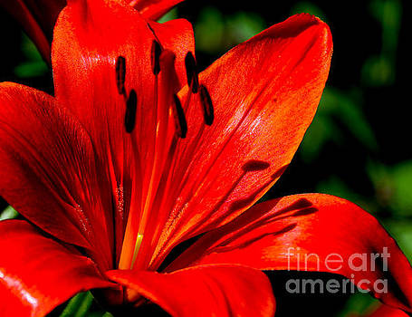 Bold Lily by Marilyn Carlyle Greiner