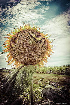 Bold Sunflower  by Debra Forand
