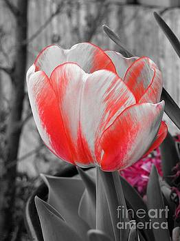 Bold Tulip by Chad and Stacey Hall
