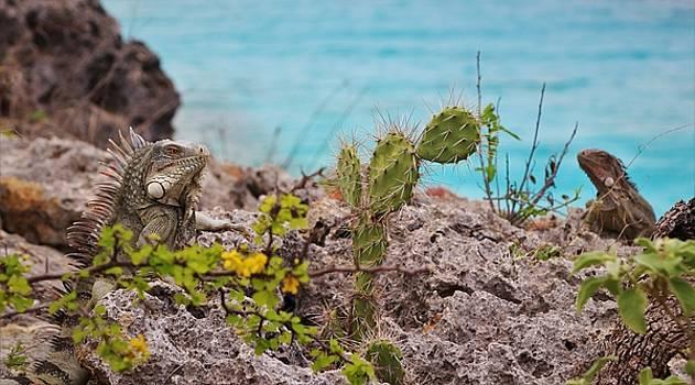 Bonaire Iguanas by Jennifer Ansier