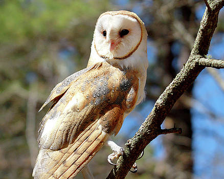 Bonnie the Barn Owl by Peter Green