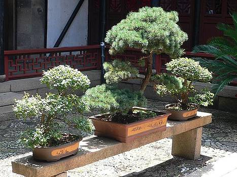 Bonsai by Gina S
