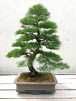 Bonsai Pine Tree by Lexi Heft
