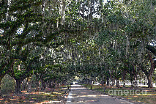 Boone Hall Plantation Live Oak Corridor by Catherine Sherman