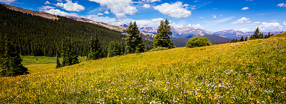 Boreas Pass Arnica Flowers 10 Mile Range by Fred J Lord