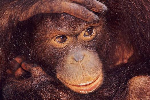 Borneo Orangutan 2 by Steven Dramstad