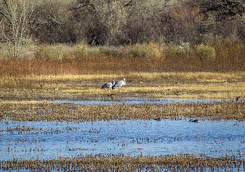 Bosque del Apache - Sandhill Cranes by Julie Basile