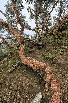 Bosque Polylepis - Chimborazo-V by Henri Leduc