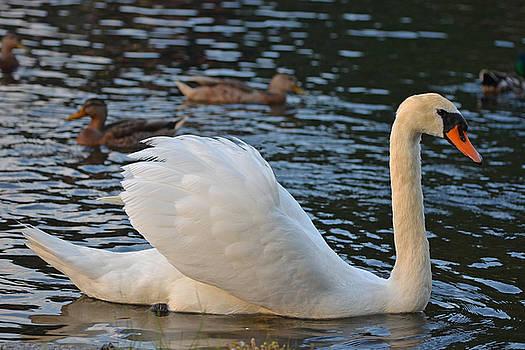 Toby McGuire - Boston Public Garden Swan amongst the ducks ruffled feathers