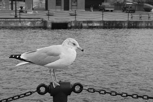 Boston Seagull by Brent Hart