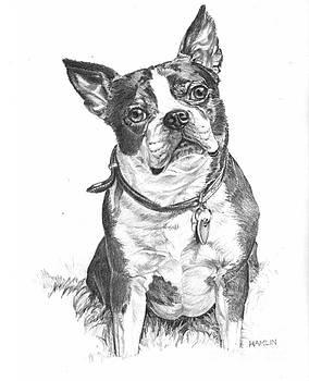 Boston Terrier - Trixie by Steve Hamlin