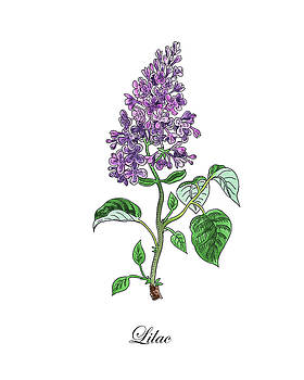 Botanical Watercolor Of Lilac Flower by Irina Sztukowski