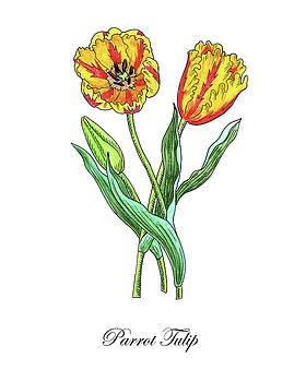 Botanical Watercolor Of Parrot Tulips by Irina Sztukowski