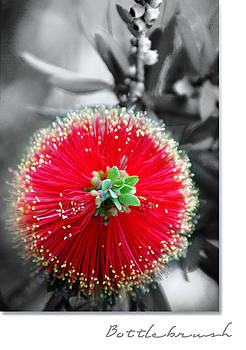 Bottlebrush Callistemon by Holly Kempe