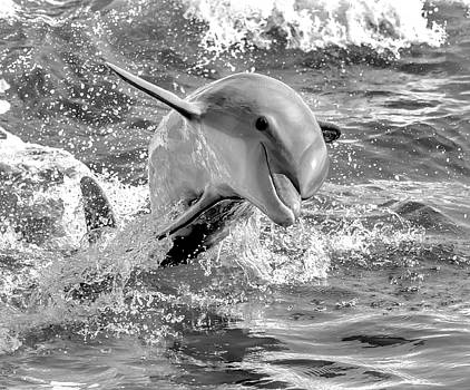 Bottlenose Dolphin - 5351c by Debra Kewley