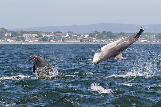 Bottlenose Dolphins - Moray Firth Scotland #45 by Karen Van Der Zijden