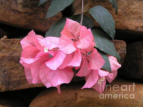Bougainvillea Close Up by Irina Davis