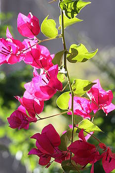Bougainvillea in Tucson by Judy C Moses