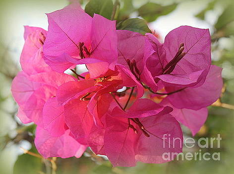 Bouganvillea Lovely in Pink by Dora Sofia Caputo Photographic Art and Design