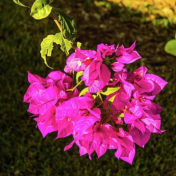 Bougavillea Flower by James Gay