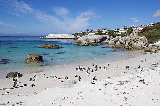 Boulders Beach Penguin Colony in South Africa by Joscelyn Paine