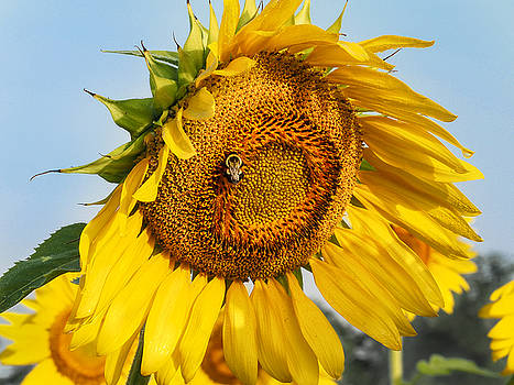 Bowed Sunflower by Paula Ponath