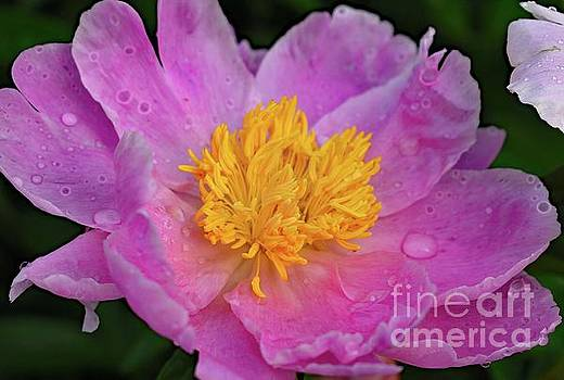 Cindy Treger - Bowl Of Beauty Peony Catching The Rain