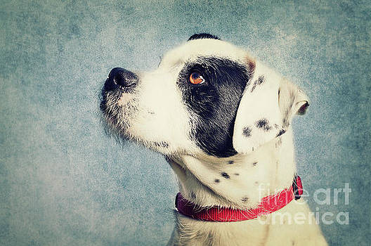 Boxer-Schnautzer-Mix by Angela Doelling AD DESIGN Photo and PhotoArt