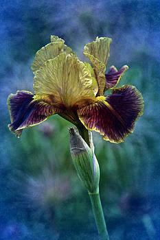 Vintage Boy Wonder iris by Richard Cummings