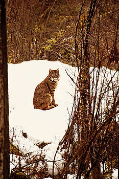 Peggy Collins - Bobcat in Snow