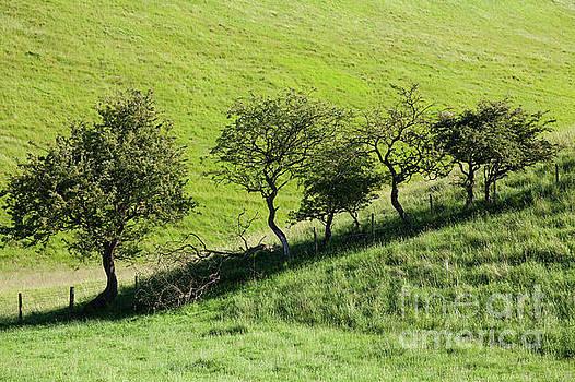 Bradeham Dale hawthorn trees by Gavin Dronfield