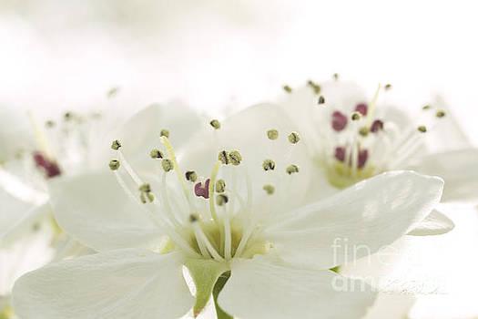 Bradford Pear Flower by Iris Richardson
