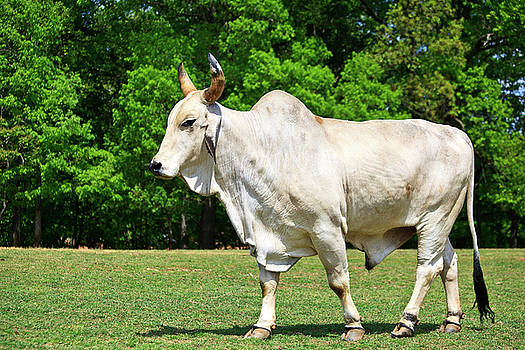 Jill Lang - Brahma Cattle
