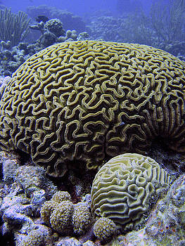 Brain Coral by Brian Puyear
