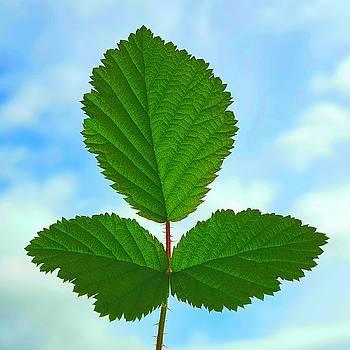 Colin Drysdale - Bramble Leaves