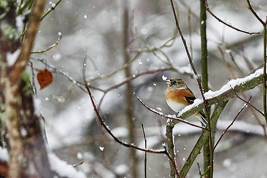 Brambling in snow by Jouko Lehto