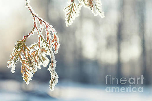 Branch thuja cypress tree in snow by Victoria Kondysenko
