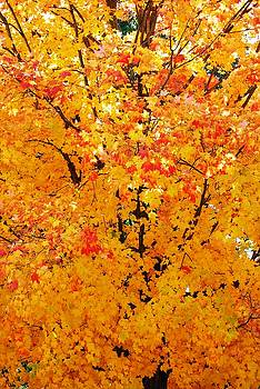 Branches Beneath Fall Beauty by Peter  McIntosh